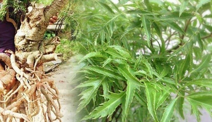 Dùng cây đinh lăng chữa suy nhược thần kinh là bài thuốc quen thuộc trong dân gian